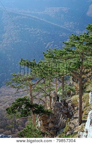 Several Pines Above Steep Precipice