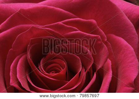 Red Rose Braking Bud