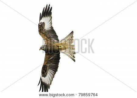 Red Kite (Milvus milvus) in flight