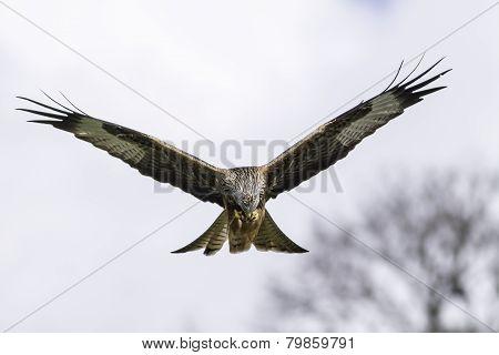 Red Kite (milvus Milvus) Feeding In Flight