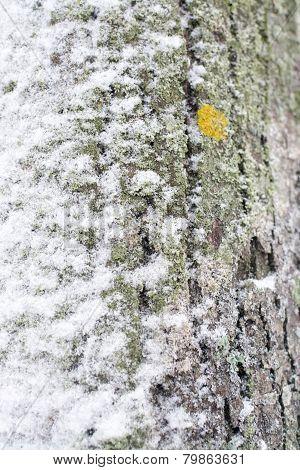 Snowy Tree Trunk Closeup