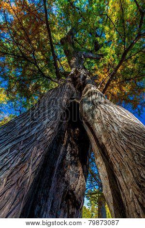 Interesting View of Split Tree Trunk of Texas Bald Cypress Tree