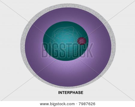 Cell division interphase