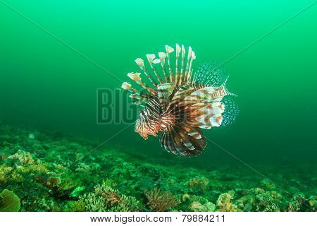 Lionfish during a plankton bloom