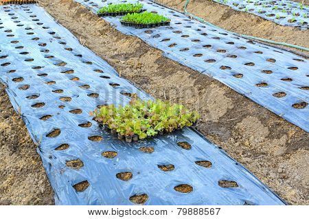 Organic Vegetable Cultivation Farm