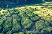pic of cameron highland  - Green tea farm in Cameron Highland Malaysia Asia