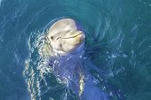 image of bottlenose dolphin  - A close view of a dolphin swimming in clear blue water - JPG