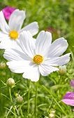 image of cosmos  - Cosmos Flowers - JPG