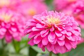 foto of zinnias  - Close up of beautiful Blossom Pink Zinnia - JPG