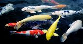 stock photo of koi  - Colourful ornamental koi fish in a pond - JPG