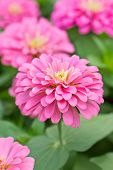 picture of zinnias  - Close up of Blossom Pink Zinnia in garden - JPG