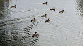 stock photo of duck pond  - Several cute ducks swim in the pond - JPG