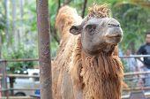 stock photo of camel  - camel camel in dusit zoo - JPG