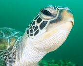 stock photo of green turtle  - Close up of a Green Turtle head in dark green water - JPG