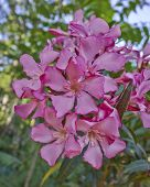 pic of oleander  - dark pink oleander bunch natural bouquet closeup - JPG