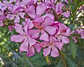 image of oleander  - dark pink oleander natural bouquet closeup in the garden - JPG