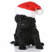 pic of christmas puppy  - christmas puppy  - JPG