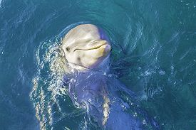 foto of bottlenose dolphin  - A close view of a dolphin swimming in clear blue water - JPG