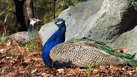 foto of female peacock  - peacock male and female lying together in the sun - JPG