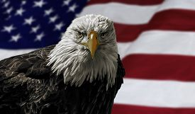 pic of bald headed  - Oil painting of a majestic Bald Eagle against a photo of an American Flag - JPG