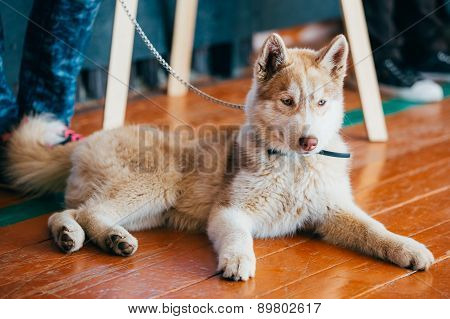 Young Happy Husky Puppy Eskimo Dog