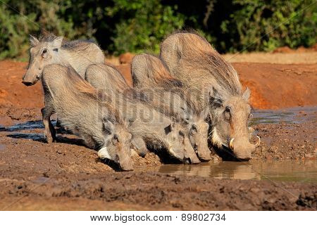 A family of warthogs (Phacochoerus africanus) drinking water, South Africa