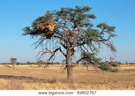 African Acacia tree with communal nest of sociable weavers (Philetairus socius), Kalahari, South Africa