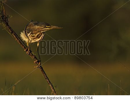 Couched Striated Heron