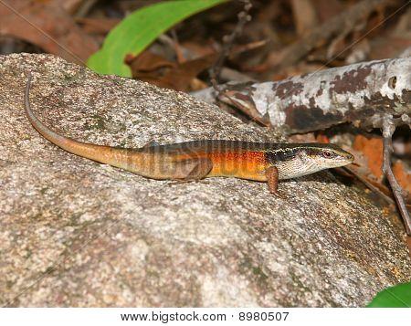 Rainbow Skink (carlia Longipes)