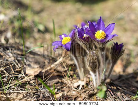 Early Spring Flowers Blue Hepatica Or Snowdrop In It's Natural Background Growing On A Forest Floor.