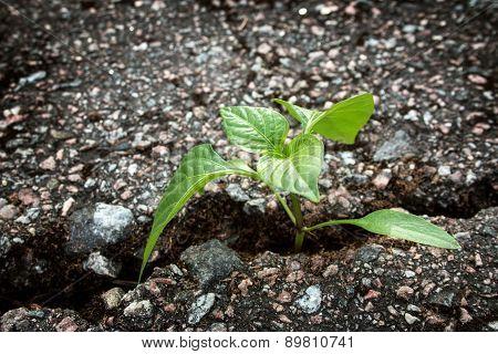 Plant growing from crack in asphalt