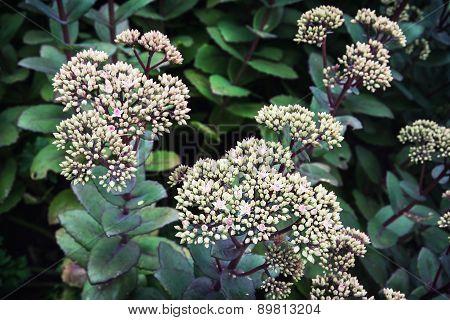 Sedum Hybrid Matrona Plant
