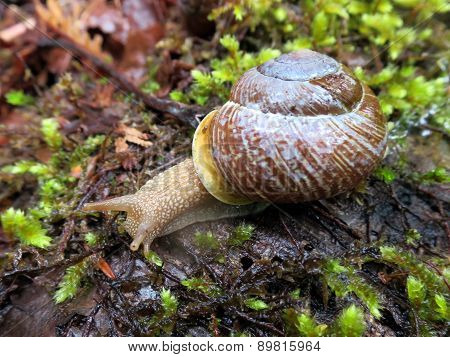 Oregon Forestsnail - Allogona townsendiana