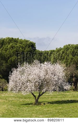 Isolated Almond Tree In Full Bloom