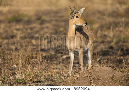 Reedbuck Standing Alone On Burnt Grass Looking At Green Sprouts