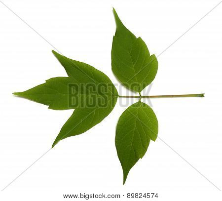 Spring Acer Negundo Leaf On White Background