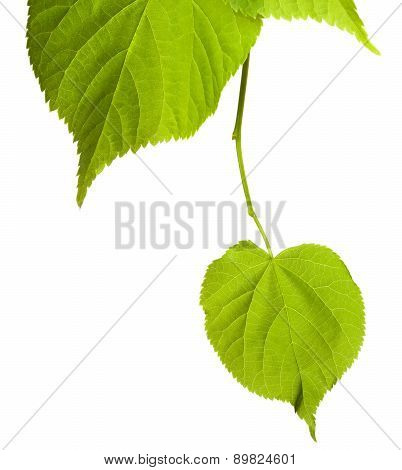 Spring Tilia Leafs Isolated On White