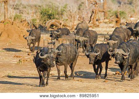 Cape buffalo with oxpecker