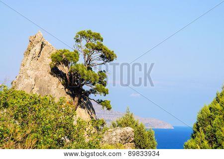 Pine On Rock Against Sea