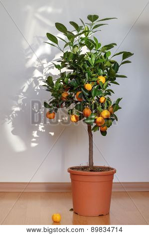 Small tangerine tree in the pot