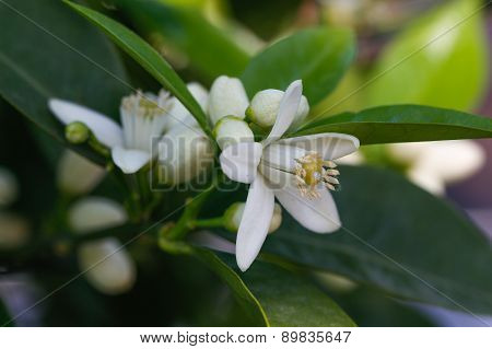 Orange blossoms tree.