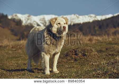 Vigilant White Furry Sheepdog