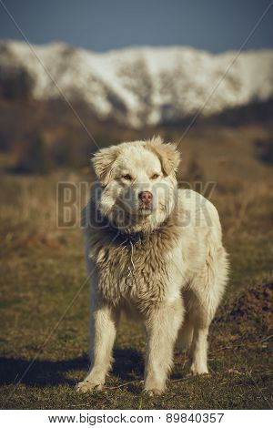 Watchful White Furry Sheepdog