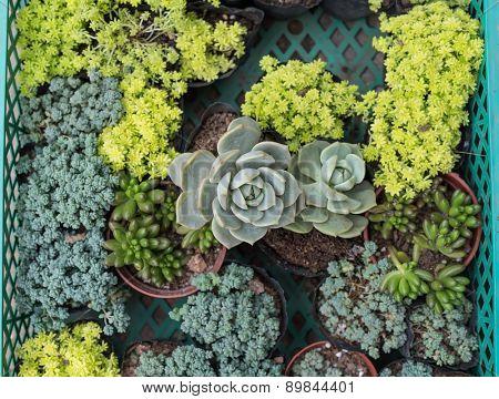 miniature cactus in pots