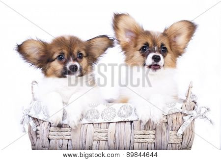 two adorable papillon puppies
