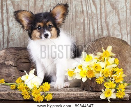 Butterfly dog, papillon puppies