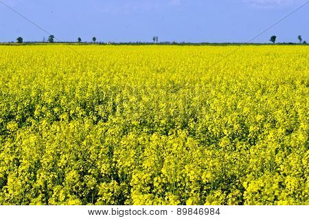The rapeseed (Brassica napus