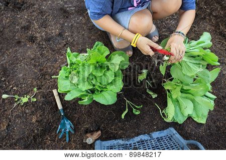 Hand Of People Harvest Clean Organic Vegetable In Home Garden For Natural Cooking Food For Health Ca