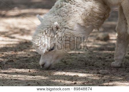 the alpaca llama pacos in the farm