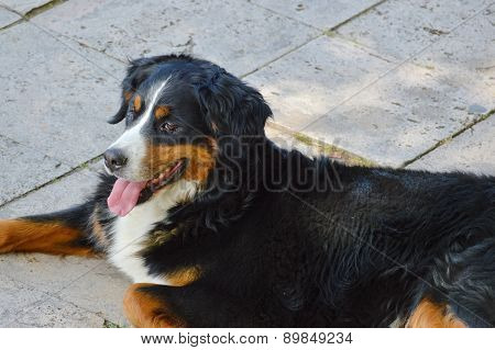 Bernese Mountain Dog On The Sidewalk